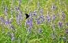 Monarch butterfly on wildflowers