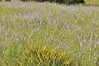 Early summer wildflowers (1)