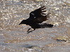 18. Boat-Tailed Grackle (Quiscalus mexicanus)