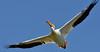15. American White Pelican
