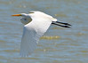 8. Great Egret