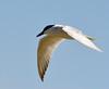 9. Gull Billed Tern