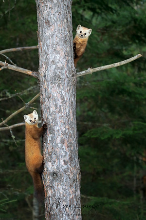 Two curious Pine Martens looking at the camera from a tree in Algonquin Provincial Park