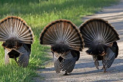 Wild turkey, effie yeaw nature preserve