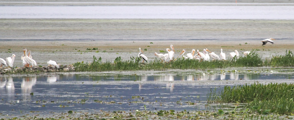 American White Pelicans<br /> Mississippi River south of LaCrosse