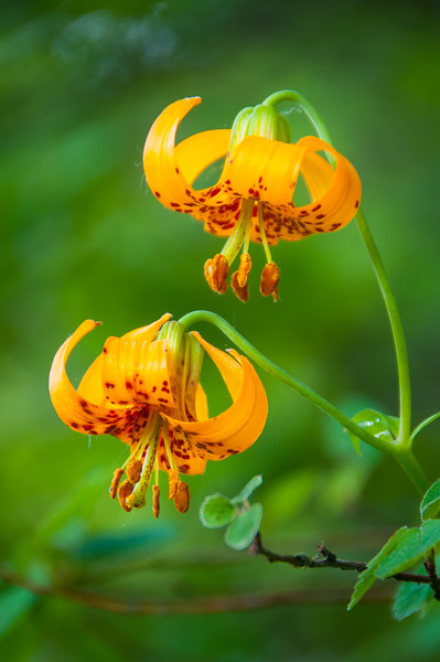 Columbia Tiger Lily (Lilium columbianum) in bloom at Bridal Veil Falls in the Columbia River Gorge, Oregon, July 2012. [Lilium columbianum 001 BridalVeilFalls-OR-USA 2012-07]