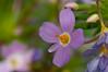 Common Linanthus