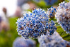 California Lilac, or Blueblossom, (Ceanothus thyrsiflorus) at Elk Head, Trinidad, Humboldt County, May 2012.