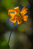 Columbia Tiger Lily (Lilium columbianum) in old-growth redwood and Douglas Fir forest at Lady Bird Johnson Grove, north Humboldt County, California. June 2014. [Lilium columbianum 013 LBJGrove-CA-USA 2014-06]