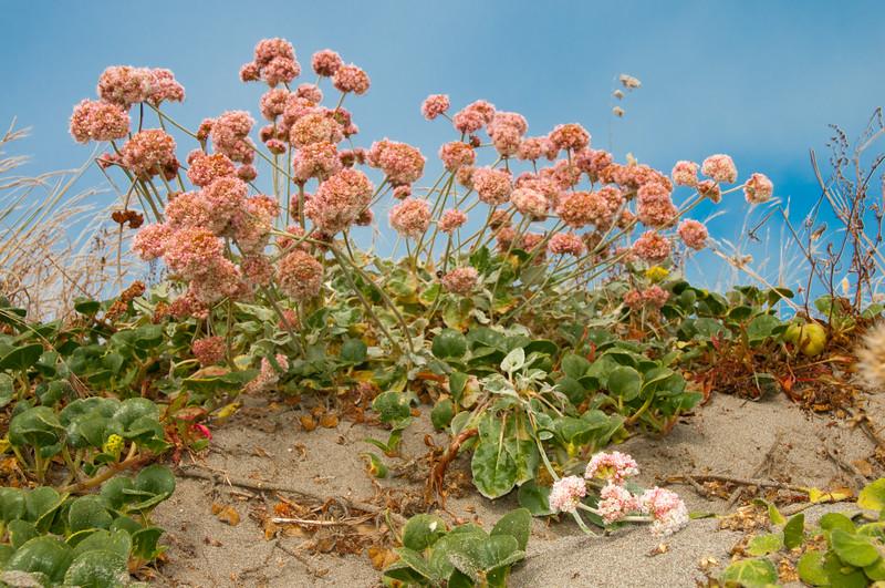 Beach Buckwheat
