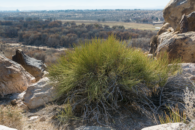 Mormon Tea (Ephedra viridis) growing in the Upper Mojave River Narrows in the Victor Valley, January 2015. [Ephedra viridis 001 Victorville-CA-USA 2015-01]