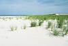 American Beachgrass (Ammophila breviligulata), an eastern native beachgrass, at Cane Beach near Boston, Massachusetts, July 2015.  Prime Piping Plover nesting habitat! [Ammophila breviligulata 001 Boston MA-USA 2015-07]