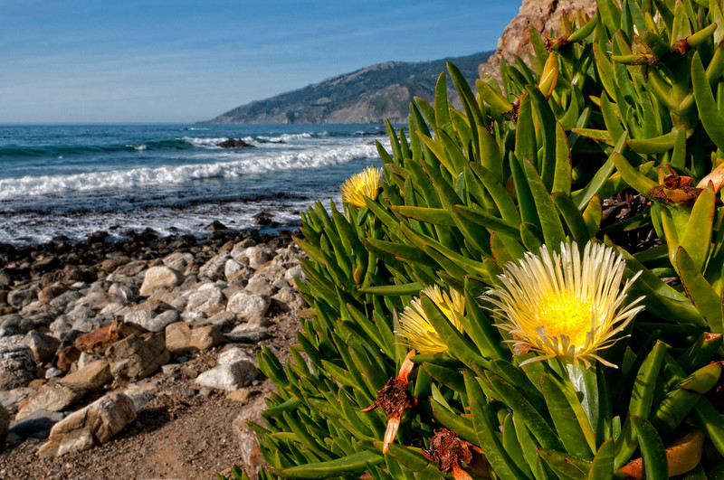 Iceplant, Hottentot Fig