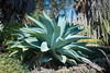 A magnificent Lion's Tail, also known as Foxtail or Swan's Neck, (Agave attenuata) at Huntington Gardens, California, September 2014. [Agave attenuata 018 HuntingtonGardens-CA-USA 2014-09]