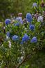 California Lilac, Blueblossom