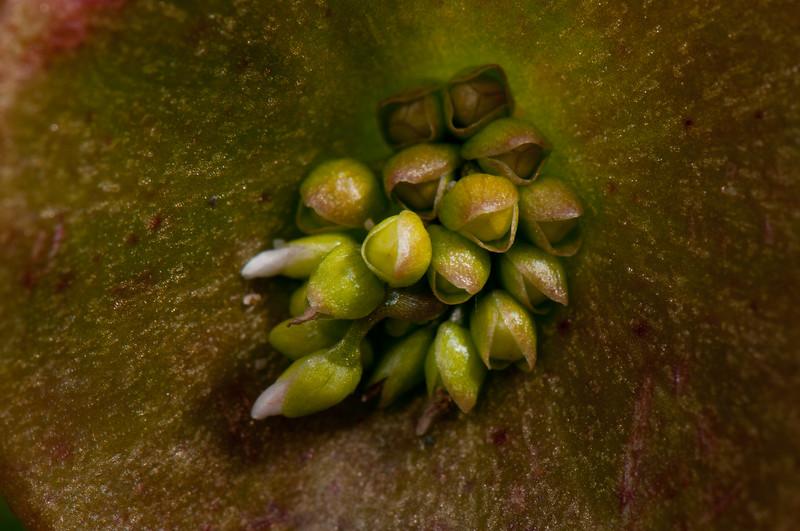 Miners Lettuce (Claytonia perfoliata ssp. perfoliata), Samoa Dunes, Humboldt, California, April 2011.