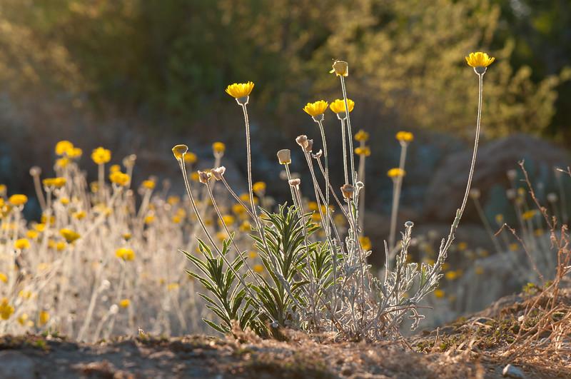 Desert Marigold (Baileya multiradiata), Fullerton Arboretum, California, August 2010.