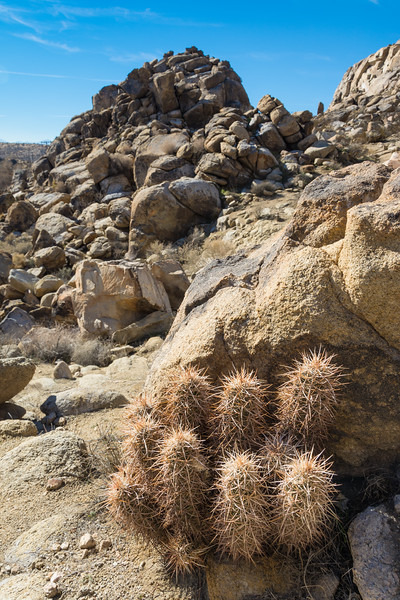 Strawberry Hedgehog Cactus (Echinocereus engelmannii) growing in the Upper Mojave River Narrows in the Victor Valley, January 2015. [Echinocereus engelmannii 003 Victorville-CA-USA 2015-01]
