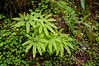 Western Maidenhair Fern