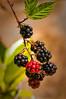 Blackberry (Rubus armeniacus) fruits at Redwood Creek, Humboldt County, California, August 2012.