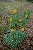 Saffron-flowered Lupine