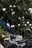 Wild Buckwheat, Naked Buckwheat