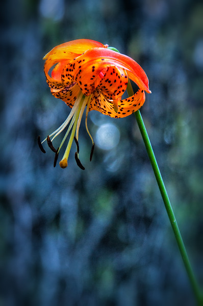 Leopard Lily or Panther Lily (Lilium pardalinum) near Rocky Point, Upper Klamath, Oregon, July 2012. [Lilium pardalinum 001 Klamath-OR-USA 2012-07]