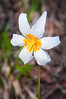 Avalanche Lily (Erythronium montanum) on Mt. Baker, northern Washington, July 2013.