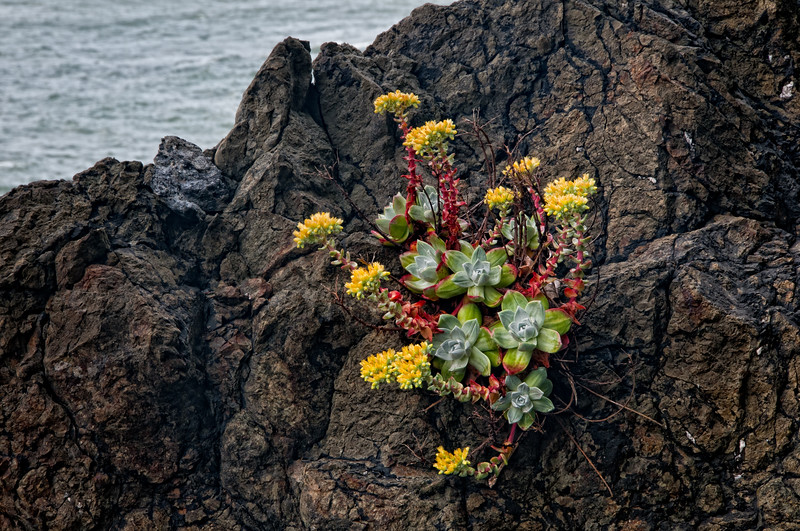 """Bluff Lettuce, Live-forever, Powdery Live-forever, and probably other names too (now you know why we call it """"Dudleya farinosa""""), on seaside cliffs at Patrick's Point, Humboldt Country, California, August 2011. [Dudleya farinosa 011_TM PatricksPoint-CA-USA 2011-08]"""