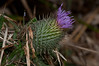Bull Thistle, Scotch Thistle