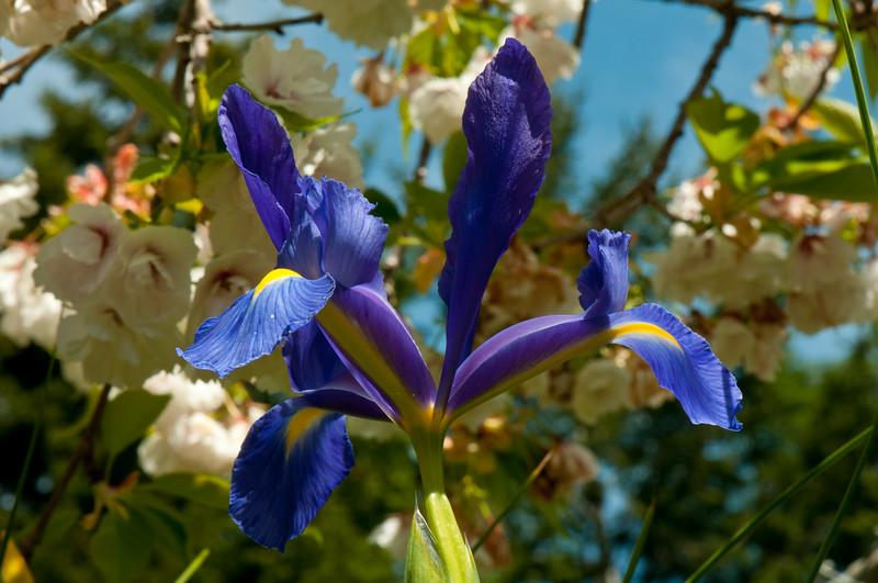 Iris cultivar
