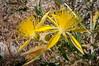 Yellow Starthistle (Centaurea solstitialis), an increasingly serious invasive weed in parts of California, at Mono Lake, California,  July 2012. [Centaurea solstitialis 008 MonoLake-CA-USA 2012-07]