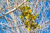 Bigleaf Mistletoe, also known as Christmas Mistletoe and Colorado Desert Mistletoe (Phoradendron macrophyllum) at Victorville, California, January 2015. [Phoradendron macrophyllum 001 Victorville-CA-USA 2015-01]