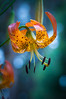 Leopard Lily, Panther Lily