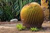 Golden Barrel Cactus (Echinocactus grusonii), a native of Mexico, in the Fullerton Arboretum, California, February 2011. [Echinocactus grusonii 001_TM Fullerton-CA-USA 2011-02]