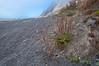 Tall Coastal Plantain (Plantago subnuda) growing along the Lost Coast, Northern California, September 2011.