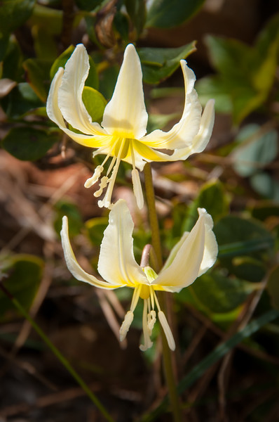 California Fawn Lily, Cream Fawn Lily