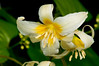 Lemon-colored Fawn Lily
