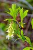 Osoberry, or Indian Plum (Oemleria cerasiformis) near the Blue Lake Fish Hatchery, Humboldt County, California, March 2012. [Oemleria cerasiformis 002_TM Humboldt-CA-USA 2012-03]