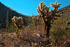 Teddy-bear Cholla, (Cylindropuntia bigelovii) in Picacho Peak State Park, between Phoenix and Tucson, Arizona, August 2010. [Cylindropuntia bigelovii 001_TM PicachoPeak-AZ-USA 2010-08]