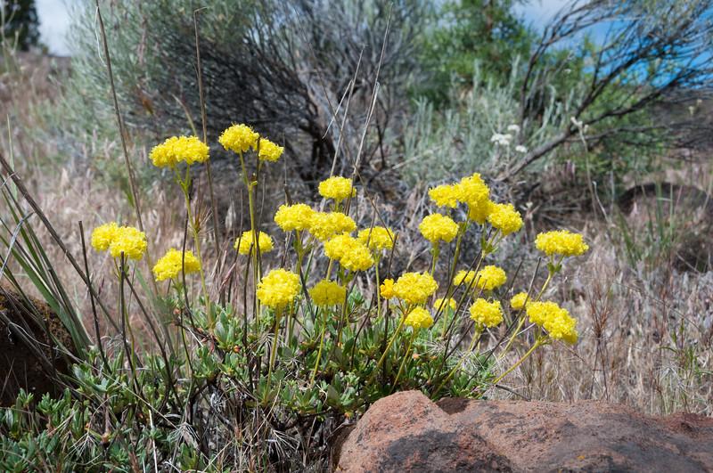 Round-headed Desert Buckwheat