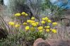 Round-headed Desert Buckwheat (Eriogonum sphaerocephalum) from  SH97 in Oregon, July 2013. [Eriogonum sphaerocephalum 001 SH97-OR-USA 2012-07]