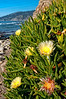 Iceplant, or Hottentot Fig, (Carpobrotus edulis) growing on the shoreline at Piedras Blancas, California, January 2011. [ Carpobrotus edulis 026_TM PiedrasBlancas-CA-USA 2011-01]