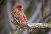 Male House Finch (Haemorhous mexicanus) in the Arcata Marsh, Humboldt County, California, December 2014. [Haemorhous mexicanus 027 ArcataMarsh-CA-USA 2014-12]