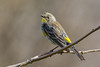 An Audubon's Warbler (Setophaga coronata auduboni), a type of Yellow-rumped Warbler, at the Yolo Bypass Information Center near Davis, California, February 2016. [Setophaga coronata auduboni 001 Yolo-CA-USA 2016-02]