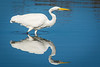 Great Egret (Ardea alba) fishing at the Arcata Marsh, Humboldt County, California, October 2014. [Ardea alba 030 ArcataMarsh-CA-USA 2014-10]