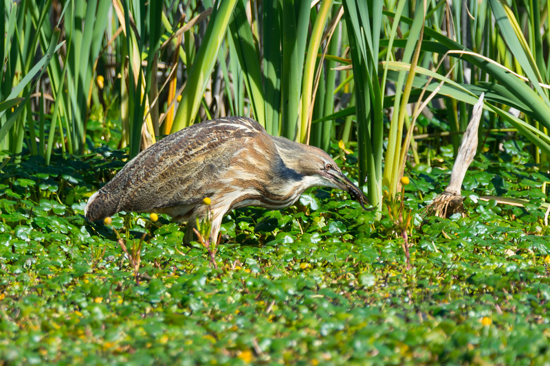 An American Bittern (Botaurus lentiginosus) foraging at the Humboldt Bay National Wildlife Refuge just south of Eureka, California, April 2017. [Botaurus lentiginosus 022 HBNWR-CA-USA 2017-04]