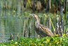 An American Bittern (Botaurus lentiginosus) foraging at the Humboldt Bay National Wildlife Refuge just south of Eureka, California, April 2017. [Botaurus lentiginosus 001 HBNWR-CA-USA 2017-04]