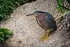Green Heron (Butorides virescens), one of the pair nesting in the Fullerton Arboretum over the 2015 breeding season. Fullerton, California,  June 2015. [Butorides virescens 029 FullertonAbrtm-CA-USA 2015-06]