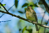 A Pacific-slope Flycatcher (Empidonax difficilis) at the Humboldt Bay National Wildlife Refuge, April 2016. [Empidonax difficilis 009 HBNWR-CA-USA 2016-04]